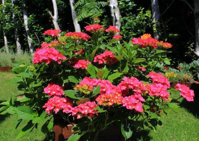 Free Hydrangea photo: Macrophylla in a planter