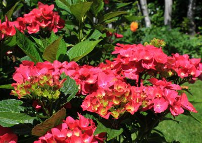 Free photo of Hydrangea Macrophylla