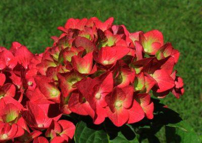 """Free photo of Hydrangea Macrophylla """"Ab Green Shadow"""""""