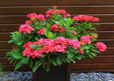 Free image of a Hydrangea Macrophylla in a planter