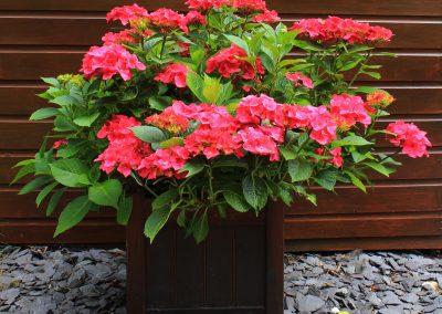 Hydrangea in a planter