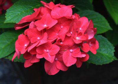 Free closeup photo of Hydrangea petals and flower