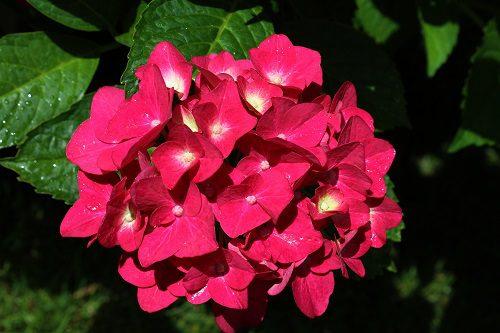 Hydrangea macrophylla mophead