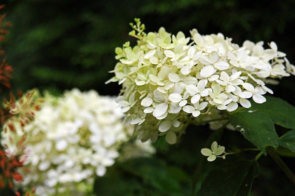 White hydrangea paniculata flowering