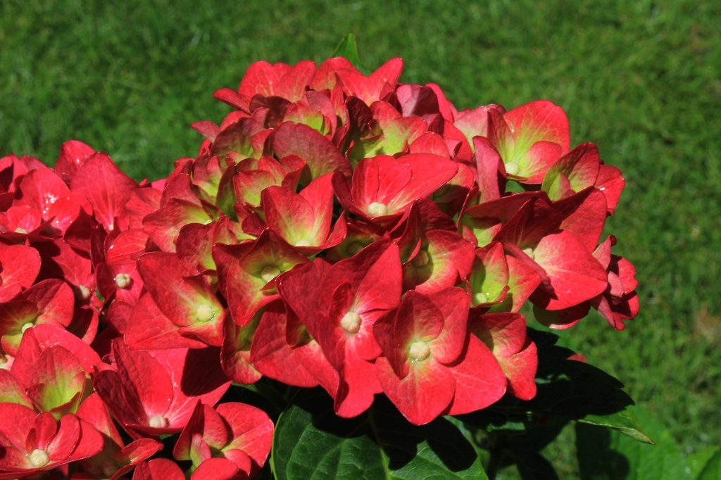 Hydrangea petals change colour rom lime-green to pinkish red