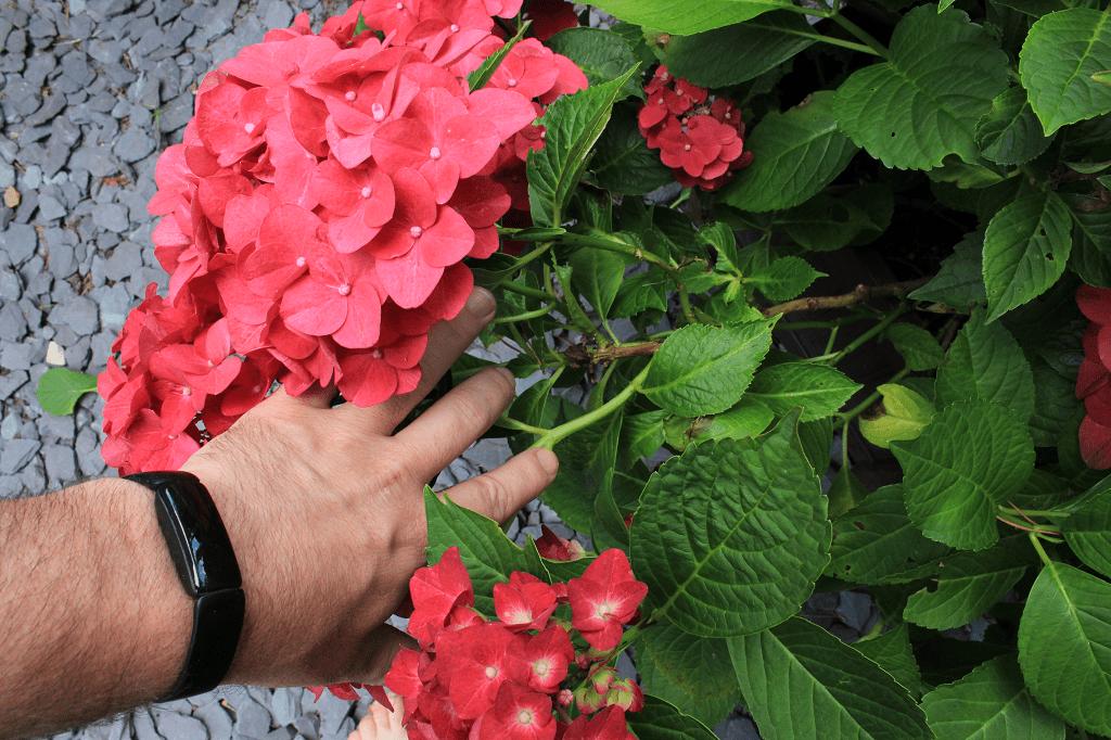 Hydrangea flowering on old wood