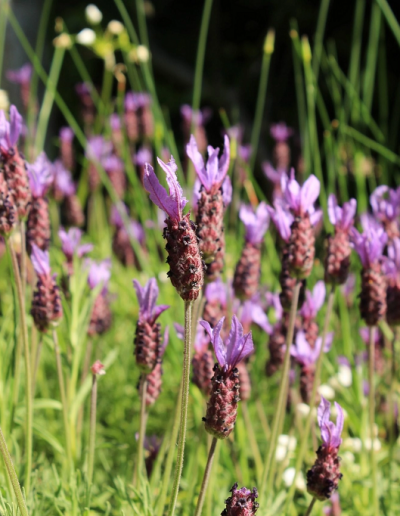 French lavender growing in border