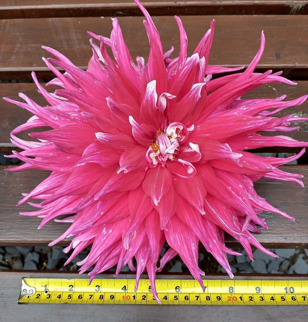 Dahlia bloom next to measuring tape