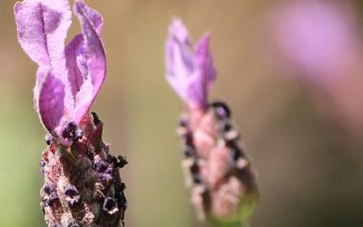 Deadhead Lavender – How, Why and When by DIY Gardening
