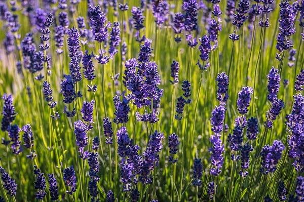 Lavender bush closeup
