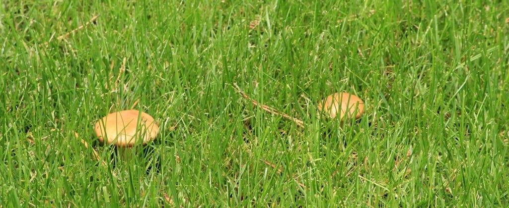 Lawn mushrooms