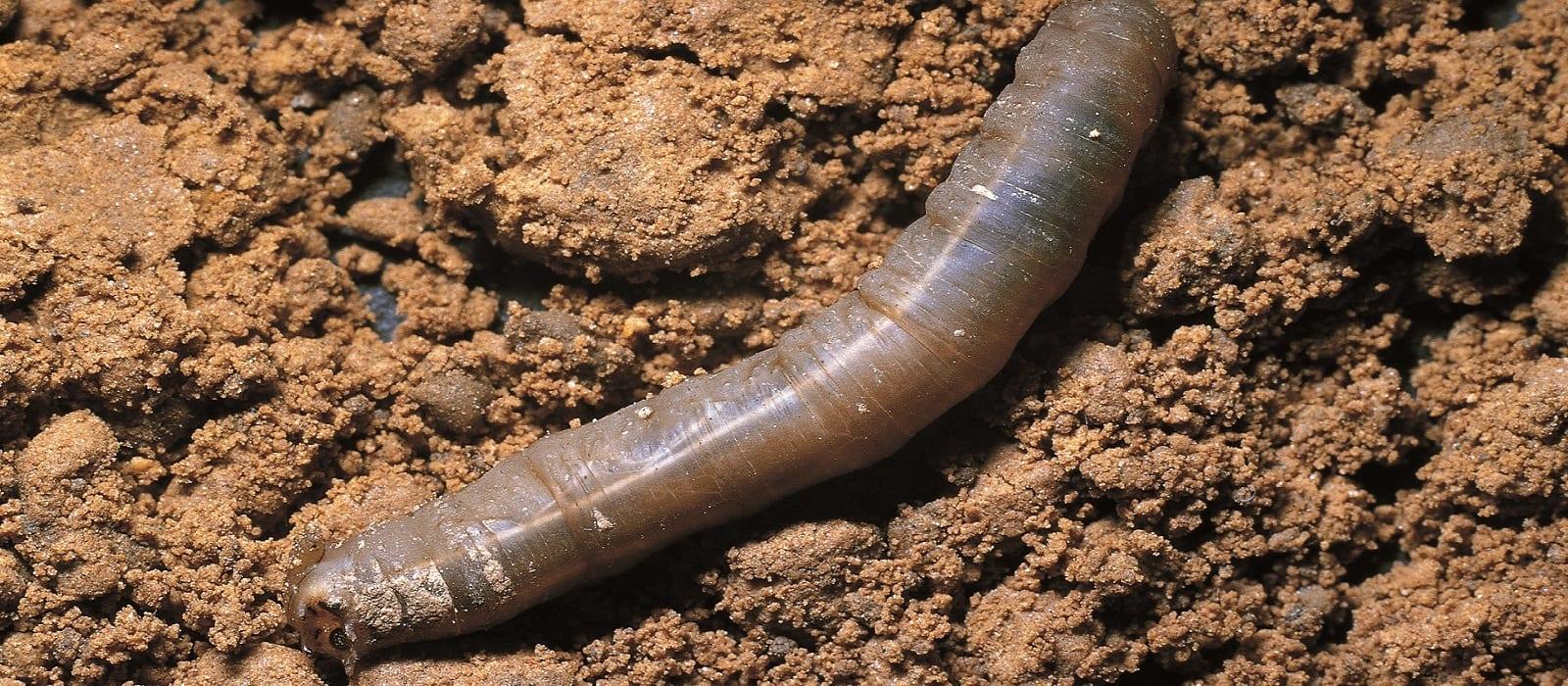 Leatherjacket in soil