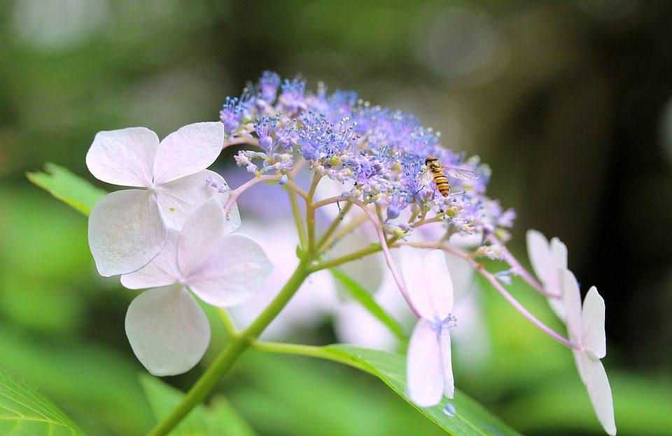 Mountain hydrangea