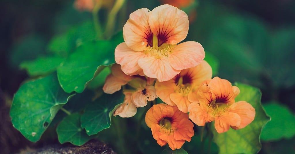 Nasturtium - slugs won't eat these plants