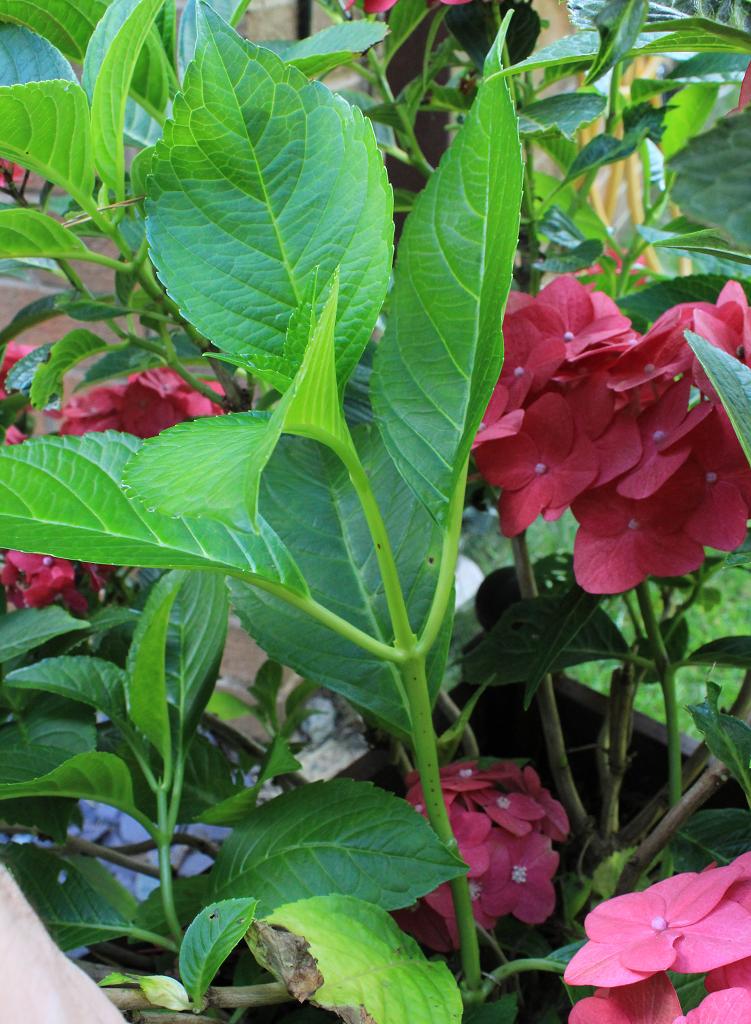 New stem growth on hydrangea