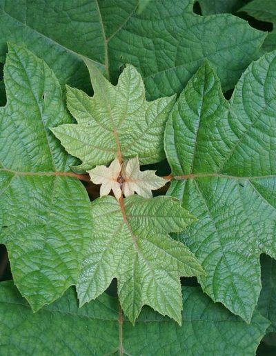 Leaves on oakleaf hydrangea