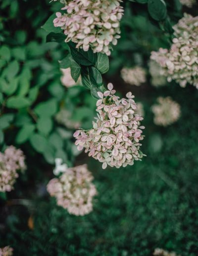 Distinctive hydrangea paniculata flowers