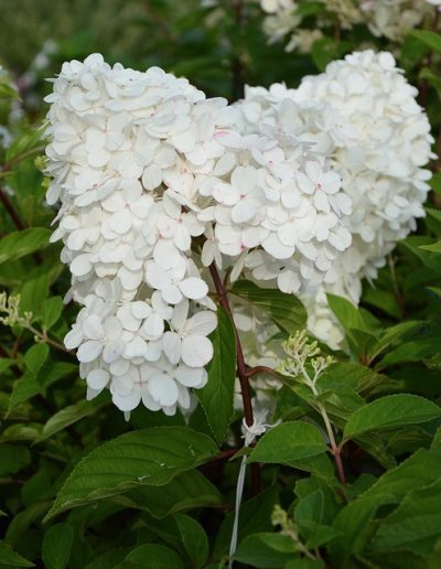 A cluster of white flowers on a hydrangea paniculata