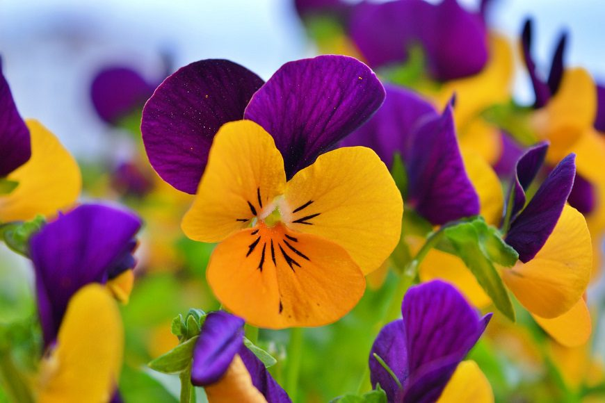 Purple and yellow winter pansies