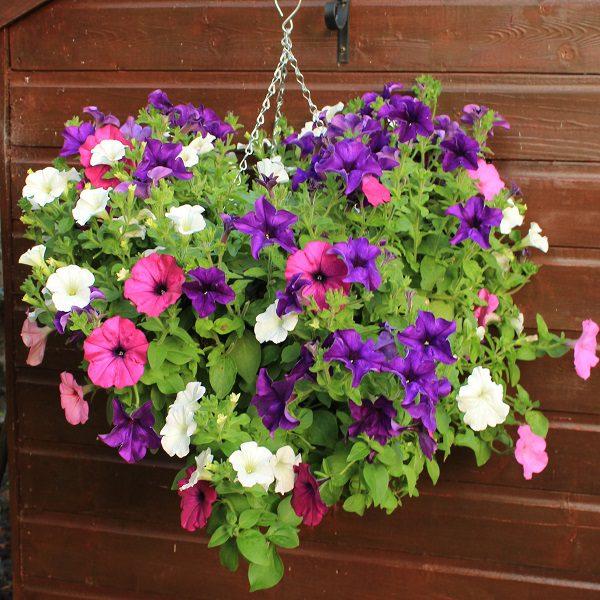 Bushy basket with petunias