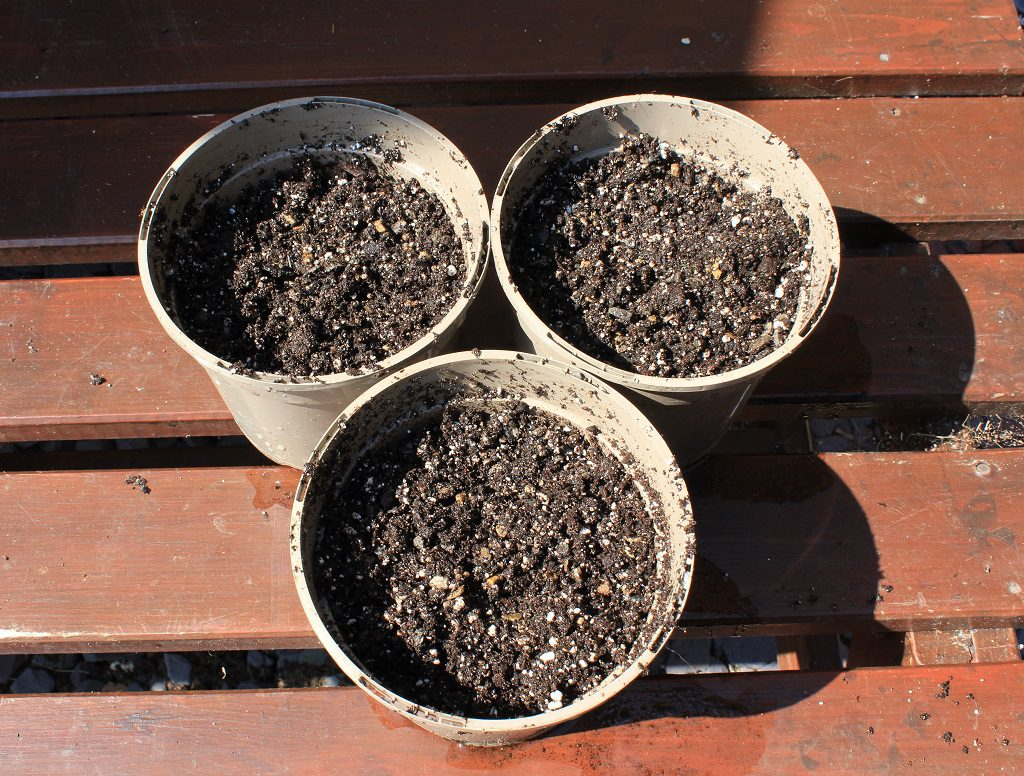 Pots with potting mix for hydrangea cuttings