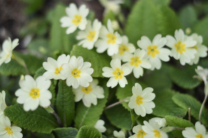 White and yellow primrose