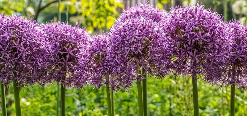 purple allium flower heads