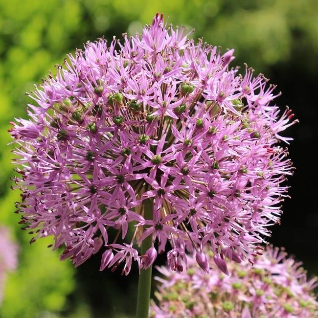Purple Sensation Allium Closeup