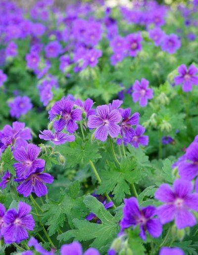 Geranium Rozanne cluster of flowers