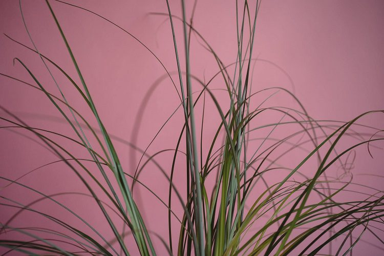 Sedge on a pink background