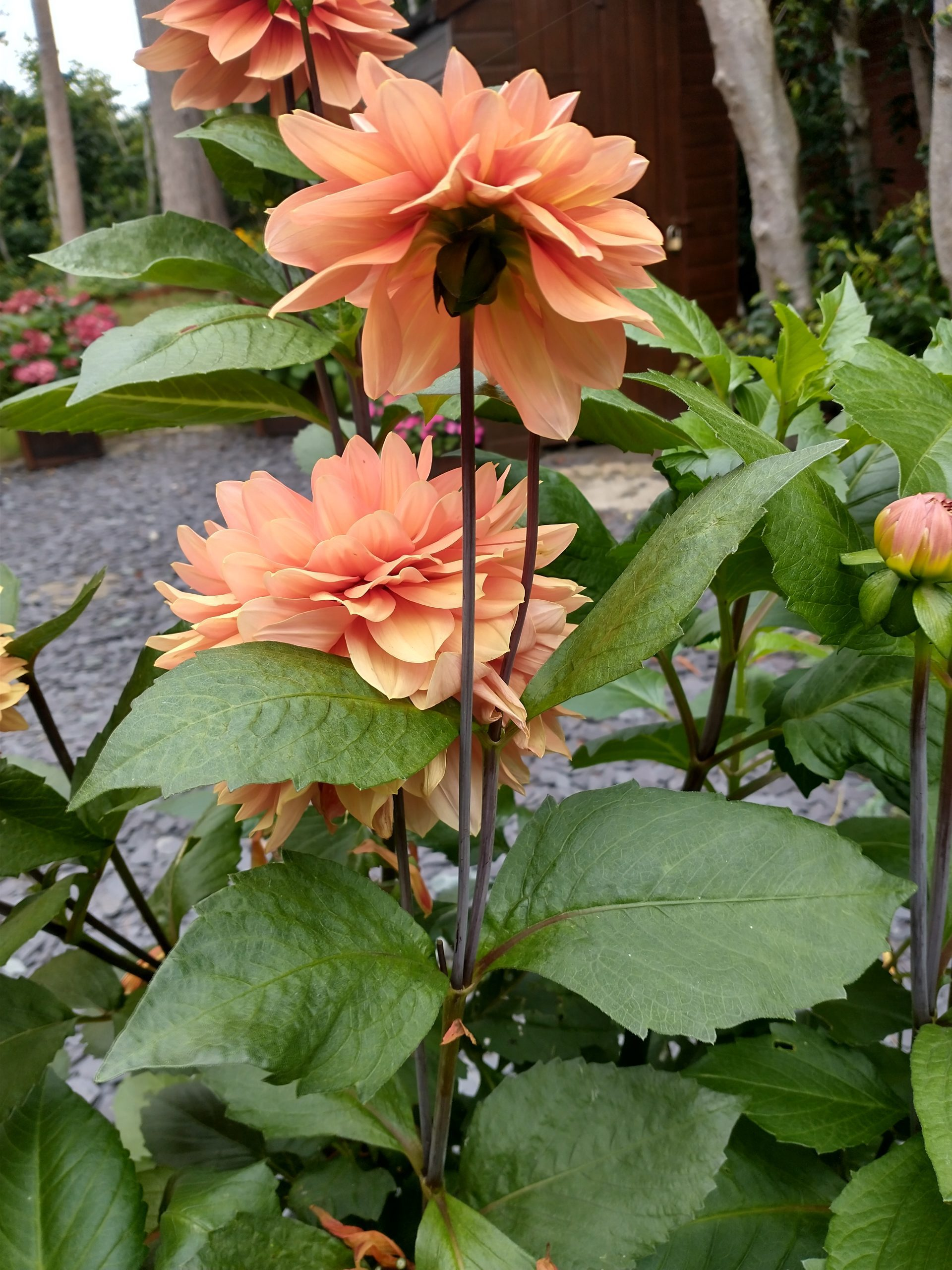 Smaller dahlia blooms on stems
