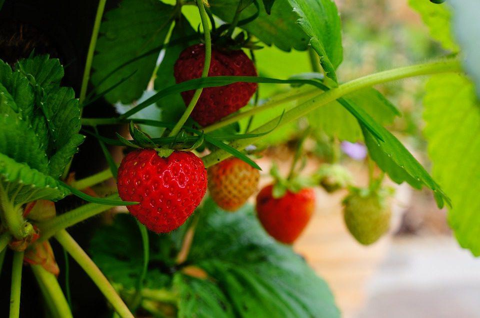 Hanging strawberry plant