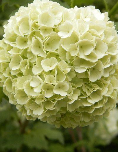 Closeup of viburnum flowers
