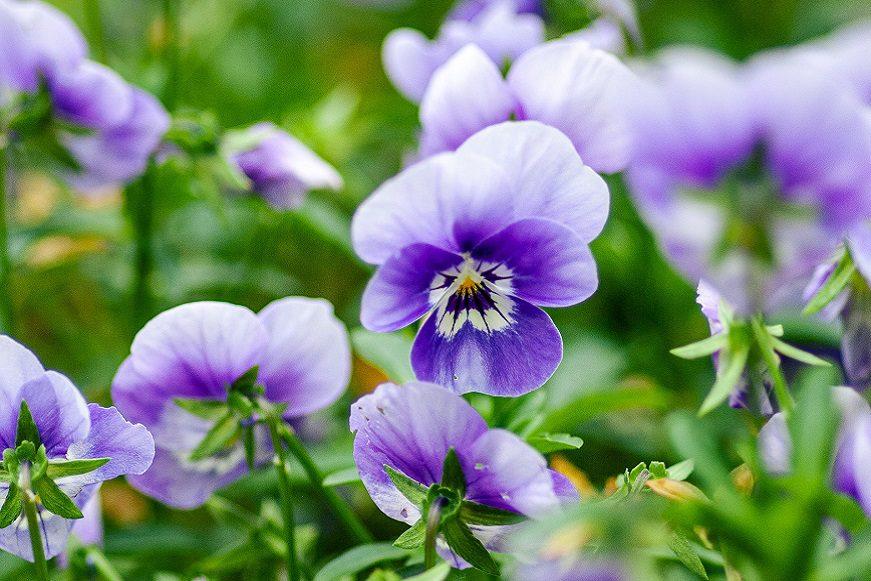 Blue and white violas
