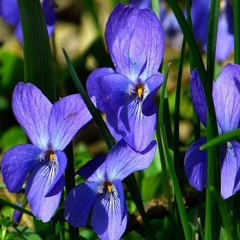 Viola pansy companion plant