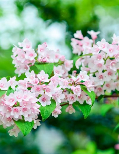 White and pink weigela