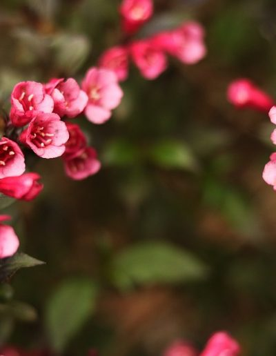 Pink and red weigela flowers