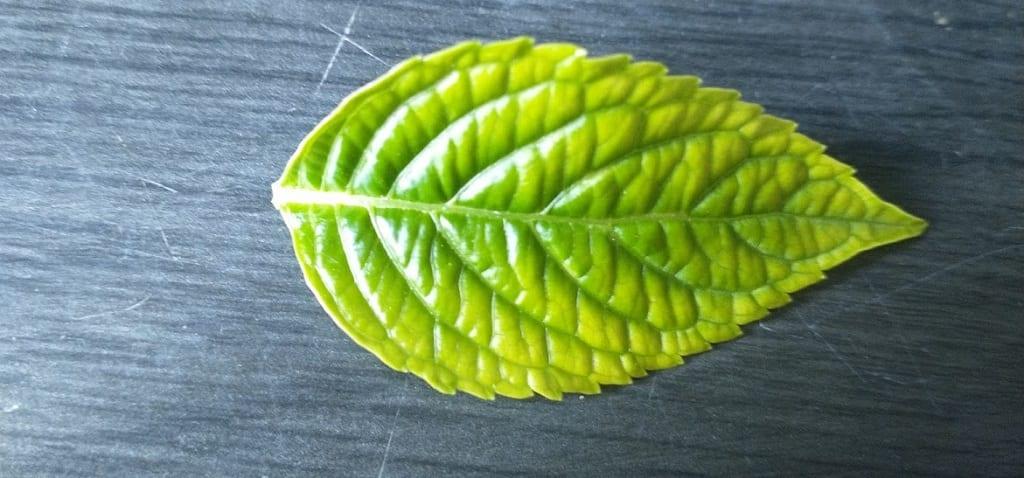 Yellow leaf on hydrangea